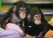 Очаровательная младенцев шимпанзе для принятия.